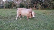 el toro de la finca