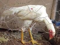 frango indio axel branco
