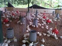 Pollos COBB