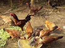 galinhas da chacar do vale