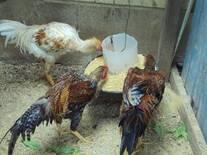 galinhas da chacara do vale
