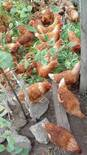 gallinas poedoras
