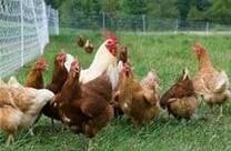 Malla energizada para aves. sistemas de produccion de huevo organico