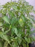 Planta de Chile Poblano