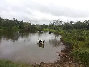Vaca tomando água no açude.