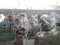 Establecer estrategia culturales para incorporar carne de conejo en dieta del Venezolano