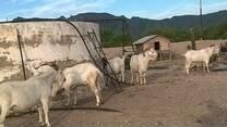 Caprinos en la Sierra del Diablo, Jimenez, Chihuahua, Mex.
