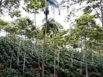cafe y forestales