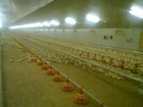 Galpon con capacidad de 36.000 pollos