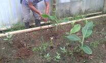 semillero de banano