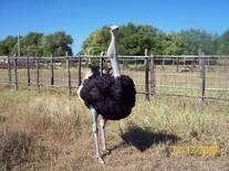 Retención esofágica en avestruz reproductor.