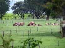 potrero de vacas gyr lecheras.