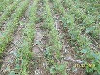 Daño de granizo en soja