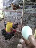 mis primeros huevos de las crías que salieron en mi incubadora