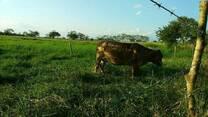 Vaca mestiza