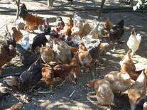 Minhas galinha estão com corriza aviaria e Marek . não estou conseguindo cura-las . o que fazer .