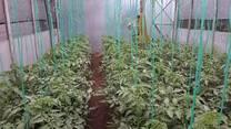 tomate orgánico en suelo