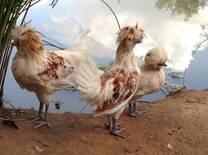 Meus frangos Polonês