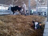 Free Stall - Maternidad