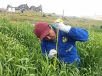 Medición de altura de planta en cebada forrajera variedad centenario