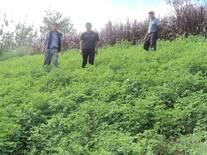 Cultivo de alfalfa- cajamarca