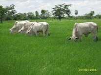 Pastoreo Racional en Braquiaria humidicola para engorde de novillos