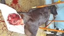 Clinica del bovino . Prolapso uterino