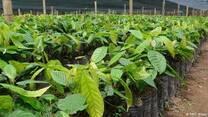 viveros de cacao variedad, trinitario,forastero y el criollo