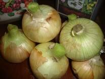 """Cebolla dulce amarilla para la exportacion,  mercado de Costa Rica y EE.UU """"Calidad Jumbo"""""""