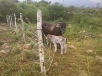 la vaca con su ternero que nacio el 23 de enero2016