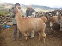 Reprodutor  Llama