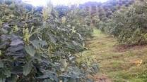AGUACATE  TRATADO  CON NPK BARBARY PLANTE G2