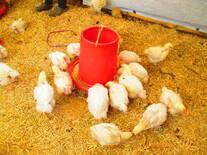 pollos coob 500