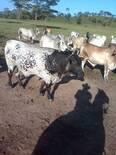 ganaderia en el vichada