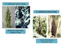 Sporisorium reilianum sobre sorgo y maíz
