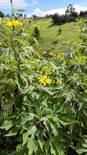 Botón de oro (Thitonia sp) con 27.9% de proteína