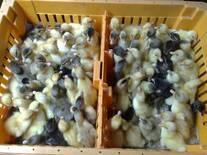 venta de patos