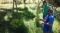 """Evaluacion del rebrote de Sambucus nigra """"Sauco"""" asociado con Alnus acuminata en praderas de Kikuyo. UNAD CEAD MEDELLIN"""