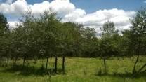 Ganaderia Sostenible con SSP de FBN Alnus acuminata finca las Golondrinas. UNAD CEAD MEDELLIN