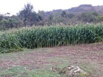 cultivo de maiz para  ensilar
