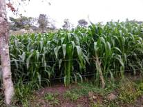 maiz para ensilar