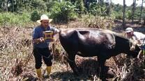 Ecografia bovina