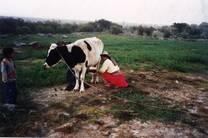 Producción de Leche en Irrigacion Campesina La Barreda Ispacas