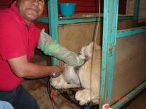Transferencia de Embriones en Camelidos