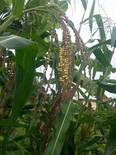 Mazorca sin tuza y flores masculinas
