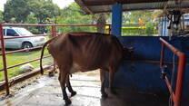 Solución del prolapso uterino en esta vaca
