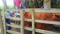 En reproduccion vacas  vaginoscopia