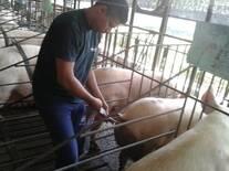 Inseminacion Artifical Porcina