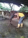 Ordeño  bovino Manual