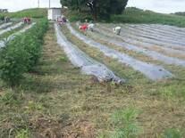 hortalizas con acolchado y barreras vivas